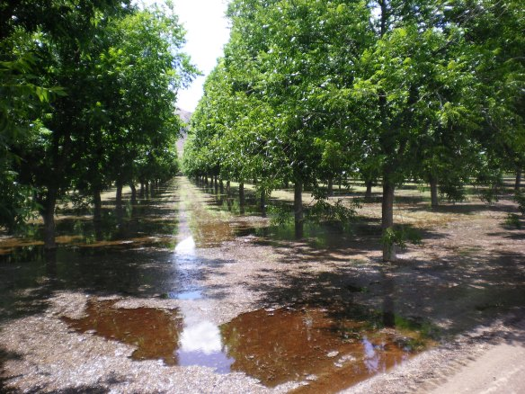 Pecan trees and onions grow along the countryside, these trees are flooded for weeks before they bear fruit in the winter