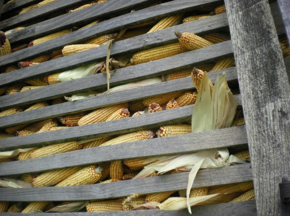 Tons of corn waiting the mouths of live stock