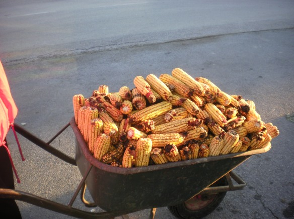 A wheel barrel of corn for pigs