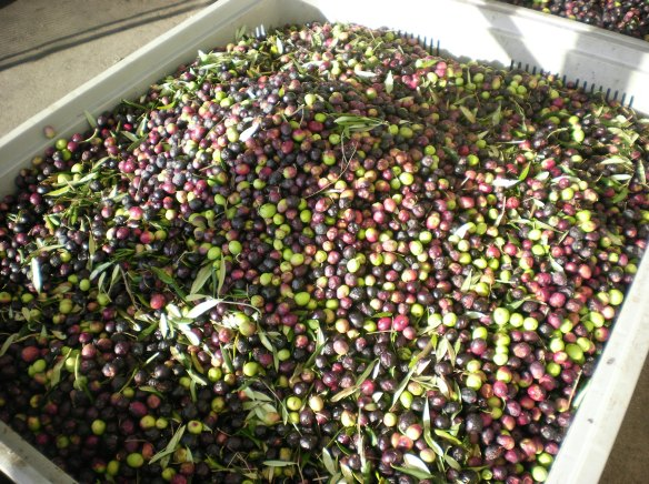 Pile of olives awaiting the transformation into oil