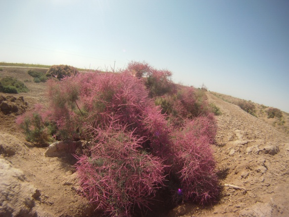 A flowering Tamarix, in Uzbekistan's fertile region