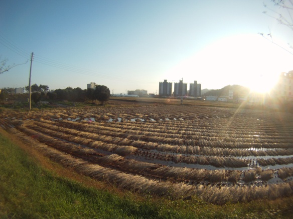 Beautiful rice field in the shadow of corporate Korea
