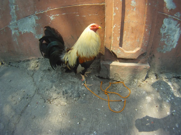 A rooster selling his services