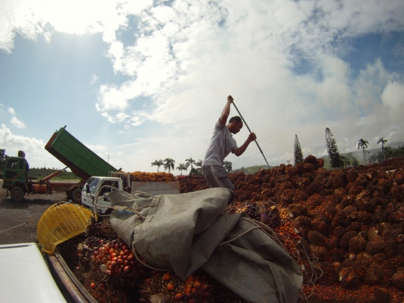 My friend and host Michael (from the Iban Jungle tribe) unloading his pickup at the processing factory