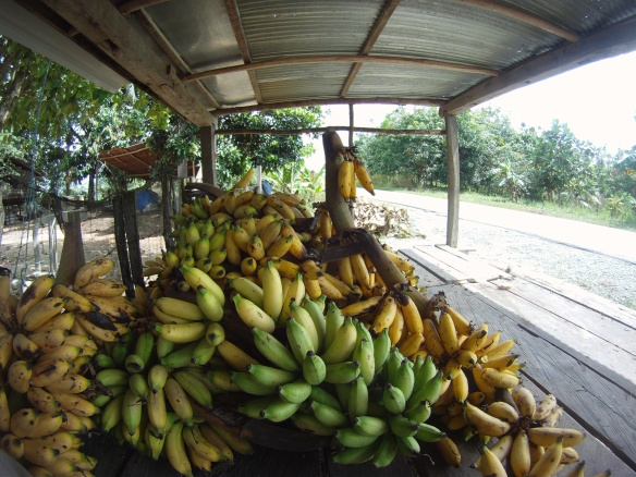 Banana buffet, these bananas are too small to sell are are left to the flies, ants and hungry passing cyclists.
