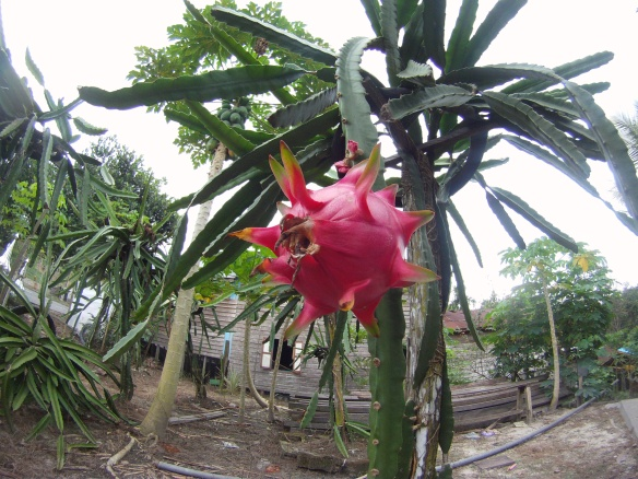 Ever seen a dragon fruit plant?
