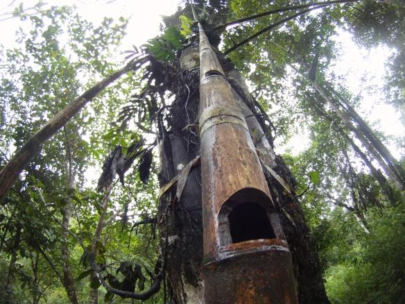"""Bamboo ladder used to climb """"E-ju""""/Tuak tree"""