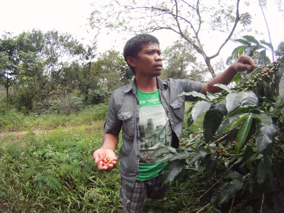 Near by Panici was a large coffee plantation. The company mainly exported to Japan whole, unroasted Arabika beans