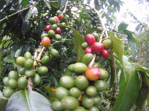 Tana Toraja's prized Arabika coffee plants. The red beans are ready to be picked, dried and roosted.