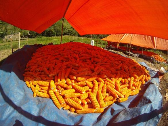 Lower hills of Tana Toraja, Corn drying in the sun.