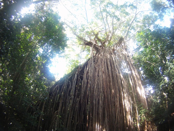 """Curtain fig"". This towering fig tree was once two living organisms."